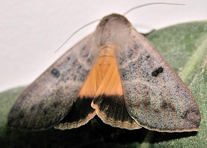 guava moth
